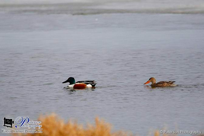 A pair of Shovelers on my drive