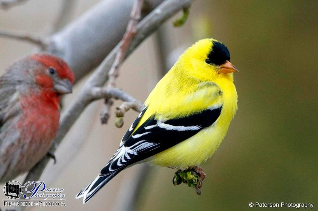 Why is there a Goldfinch on my branch??