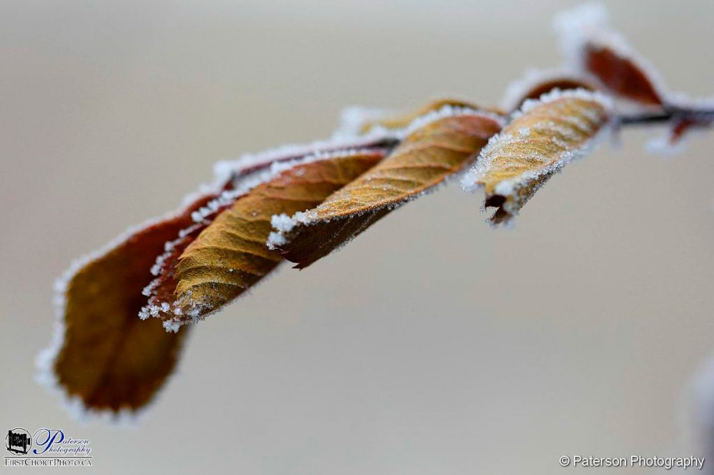 Dry leaves and morning frost