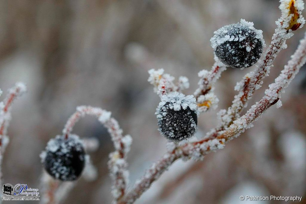 Morning frost sugar coating some berries