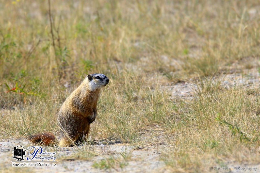 Marmot on the look out