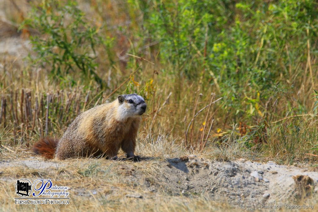 Marmot on a warm summer day