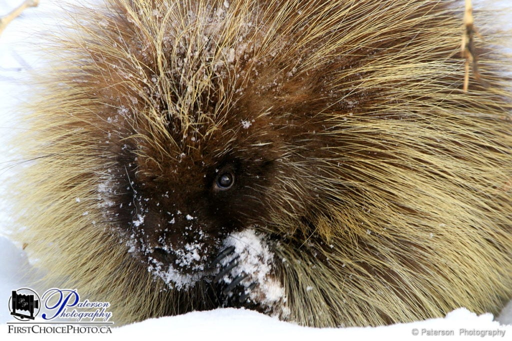 Cold Porcupine