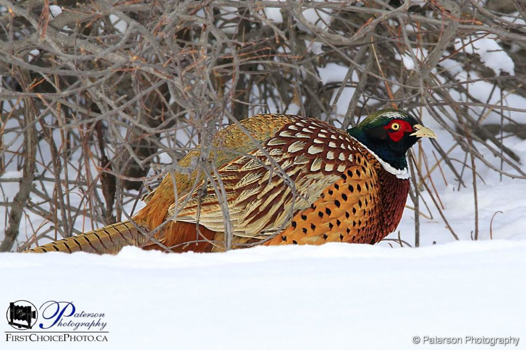 Male Pheasant The Lethbridge River Bottom