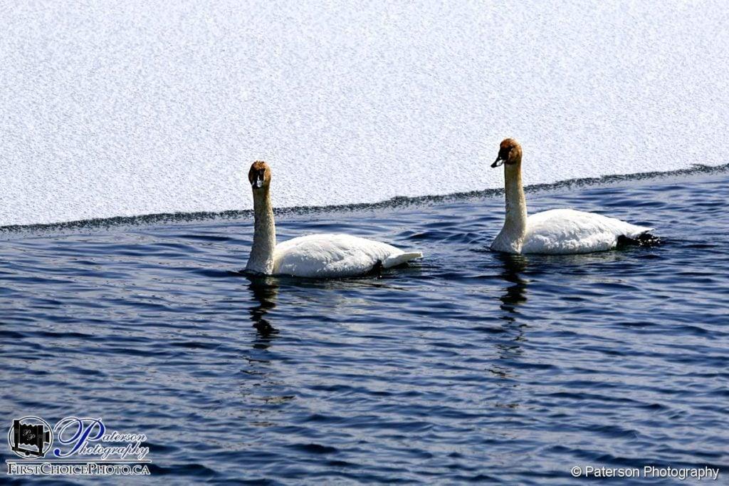 Swans in Waterton