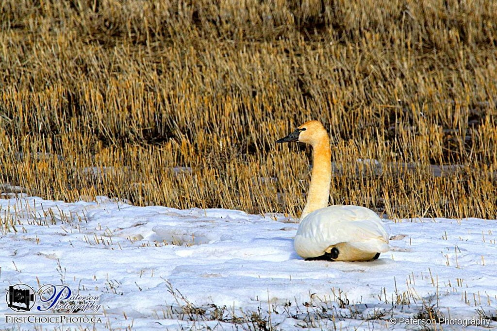 Tundra Swan chilling out
