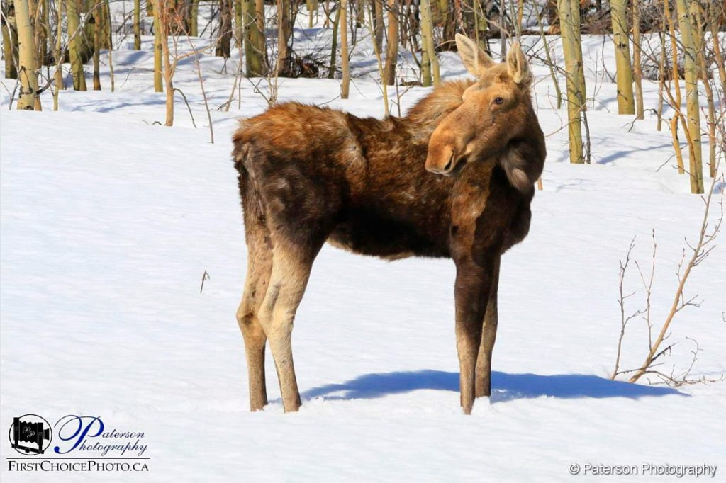 Spring Moose - snow no problem!