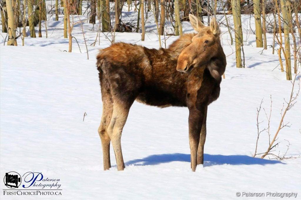 Spring Moose - snow no problem!