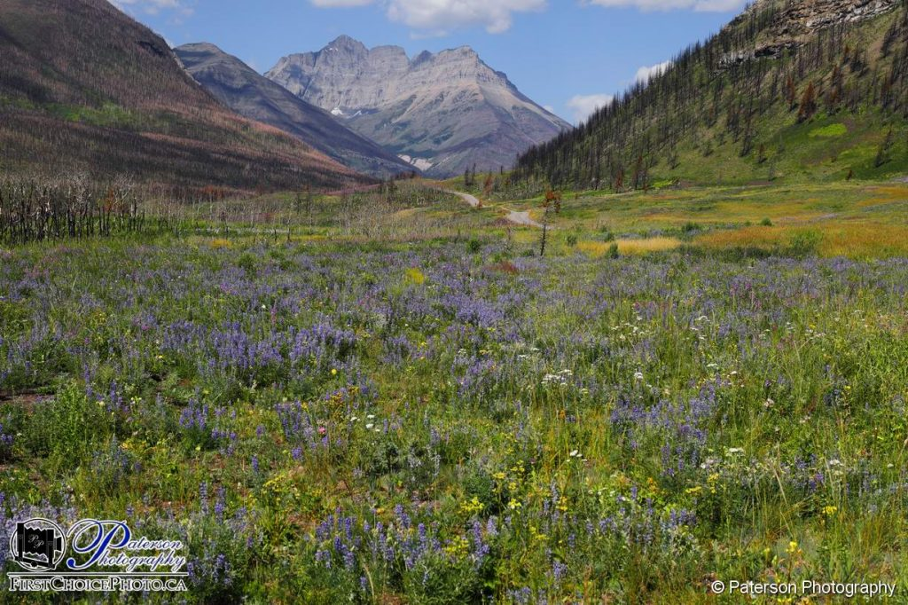 Waterton Lakes National Park Wild Flowers