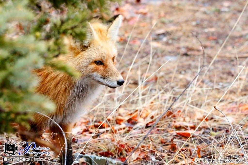 Waterton Wildlife Fox