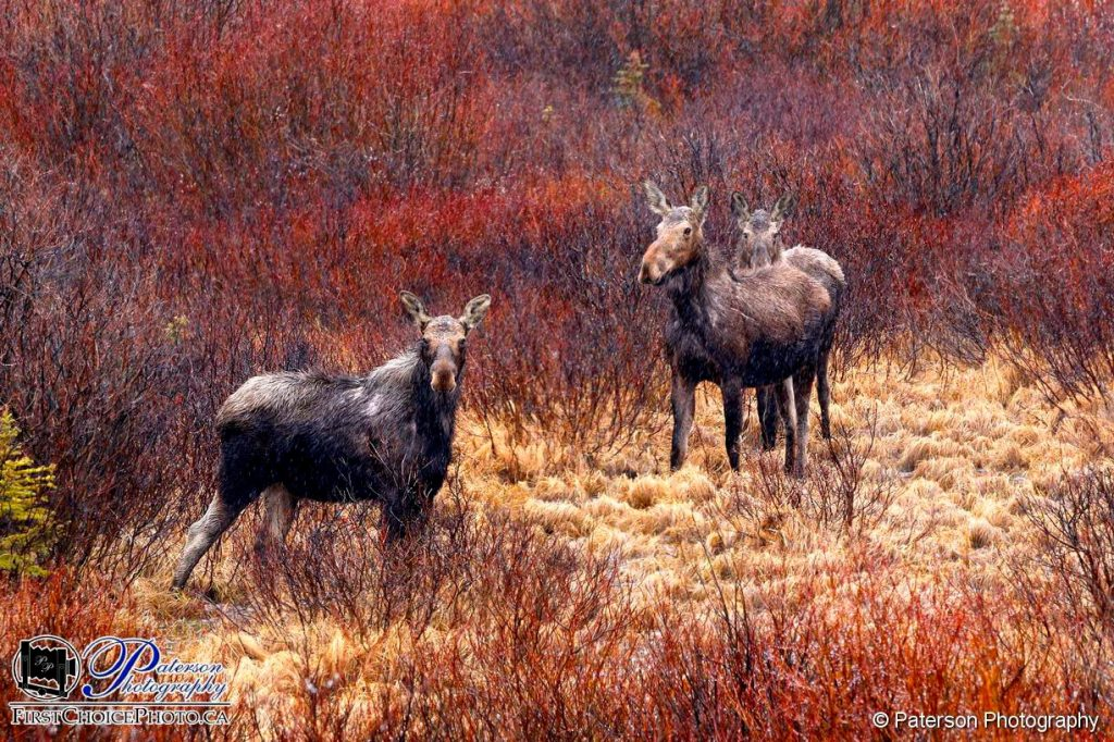 Moose Waterton Wildlife
