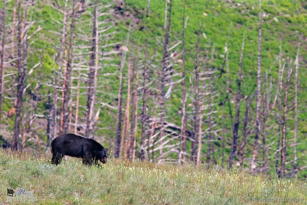 Waterton Black Bear and burnt trees