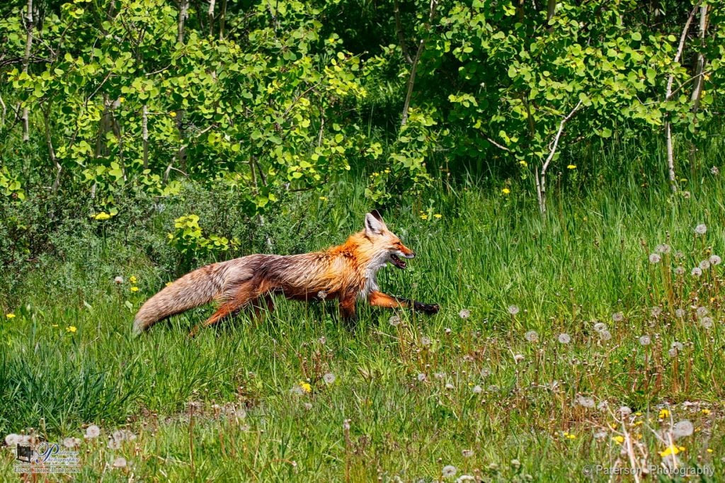 Fox out for a morning run