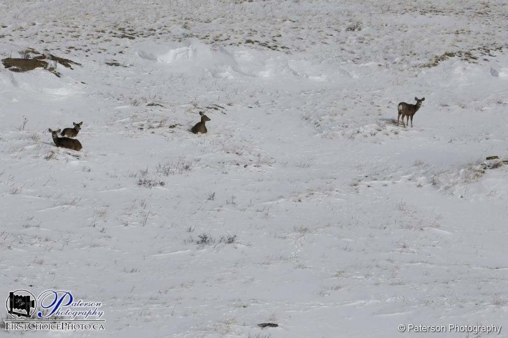 deer snow
