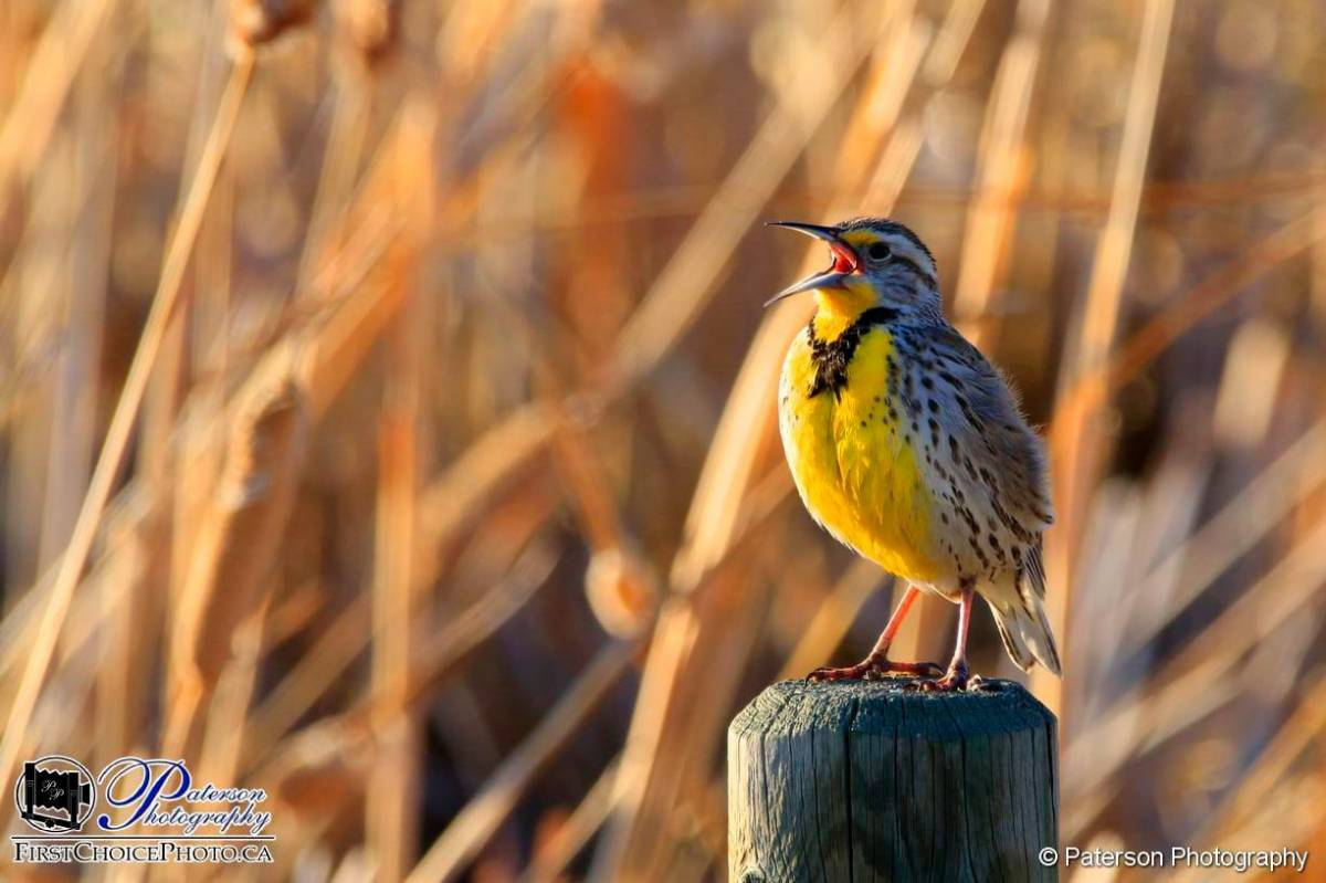 A great picture of a Meadowlark Spring 2018