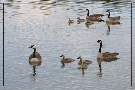 Canada Geese Familes